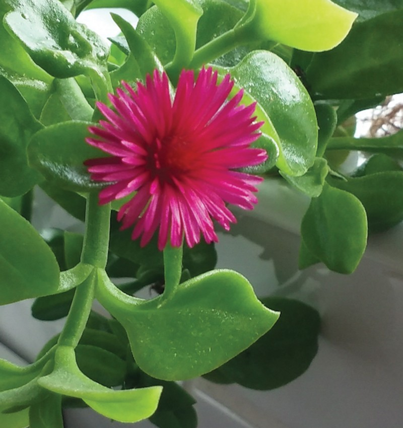 Jack-flower